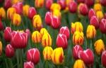 tulip Jan Mather Camano Island Expert