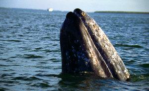 camano island gray whale